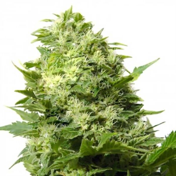 Cheese Feminized Seeds